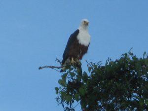 Fish-eagle-lake-mburo