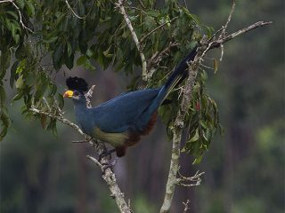 birding-kibale-forest-Great-blue-Turaco