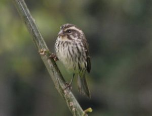 birding-bwindi-forest