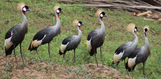 25 Days Best of Uganda Birding and Gorilla Safari