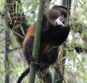 golden-monkeys