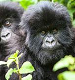 Gorilla Safari's