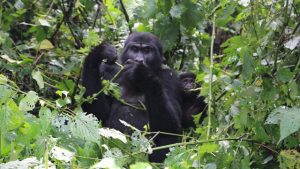 gorillas-in-bwindi-forest