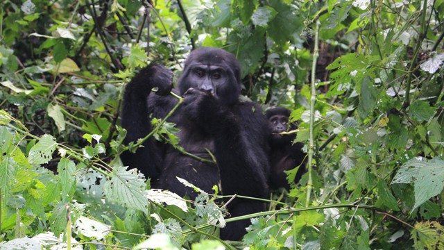 Increase in Price of Ugandan Gorilla and Chimpanzee trekking permits