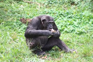 ngamba-island-chimp-feeding