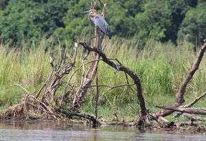 purple-heron-murchison-falls