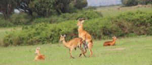 uganda-kobs-mating