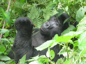 Gorilla in Bwindi Impenetrable national park - Uganda