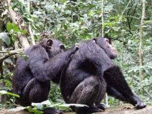 chimpanzee kibale forest