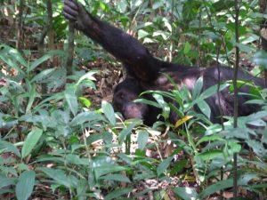 chimpanzee-kibale-forest