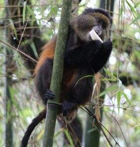 golden-monkey-volcanoes-national-park