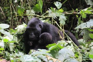 gorillas in bwindi forest