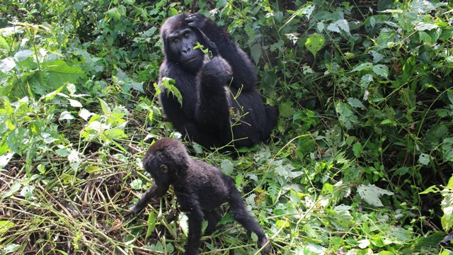 3 Days Uganda Gorilla Trekking Safari in Bwindi National Park