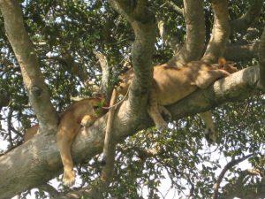 tree lions ishasha