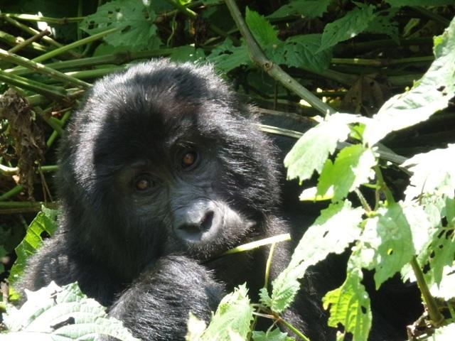uganda gorilla bwindi forest