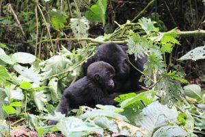 uganda-gorillas