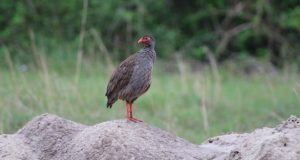 red-necked-spurfowl-queen