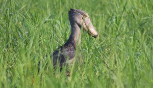 shoebill-uganda
