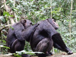 chimpanzee-budongo-forest