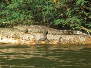 a crocodile at Lake buro