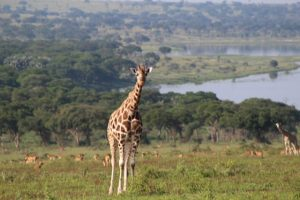 giraffe-murchison-falls