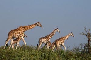 giraffes-murchison-falls-uganda
