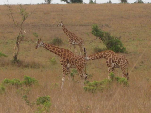 giraffes murchison falls national park
