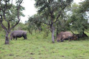 rhinos-uganda