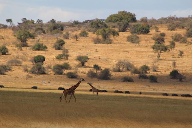 giraffes in Akagera National Park