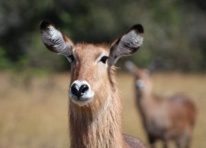akagera-national-park-waterbuck