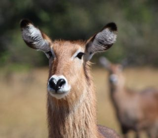 Waterbuck in Akagera National Park