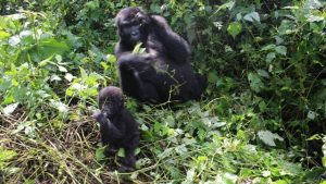 baby-and-mother-gorilla