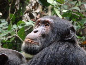 chimp-kibale-forest