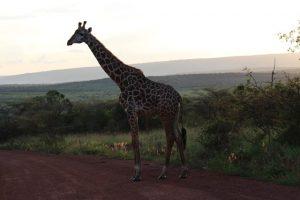 giraffe-akagera