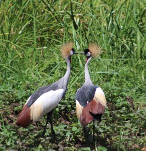grey crowned cranes in Akagera National Park
