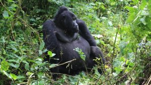 mountain-gorilla-volcanoes-park
