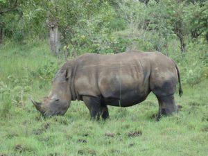 rhino-ziwa