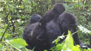 gorillas in volcanoes national park rwanda