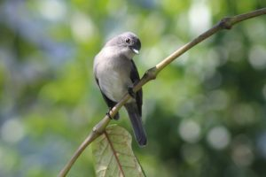 white-eyed slaty-flycatcher