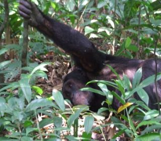 Chimpanzee in Nyungwe Forest