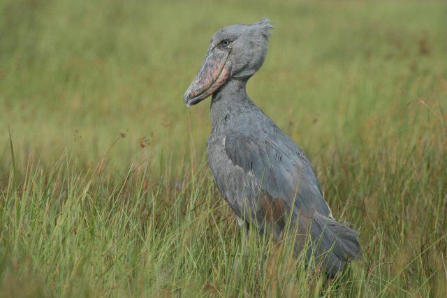 Bird watching in Uganda and Rwanda