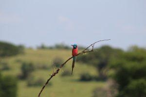 Bee - eater, uganda