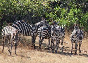 akagera-national-park-zebras