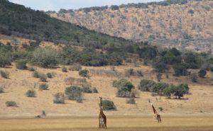 akagera-park-giraffe