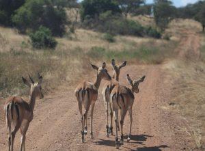 akagera-park-impalas
