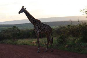 giraffe-akagera-national-park