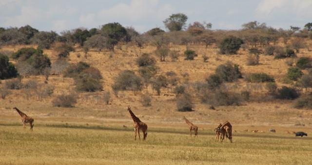 giraffe-akagera-tour