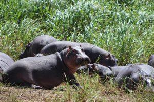 hippos-akagera-park