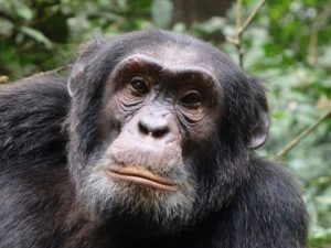 chimp trekking kibale