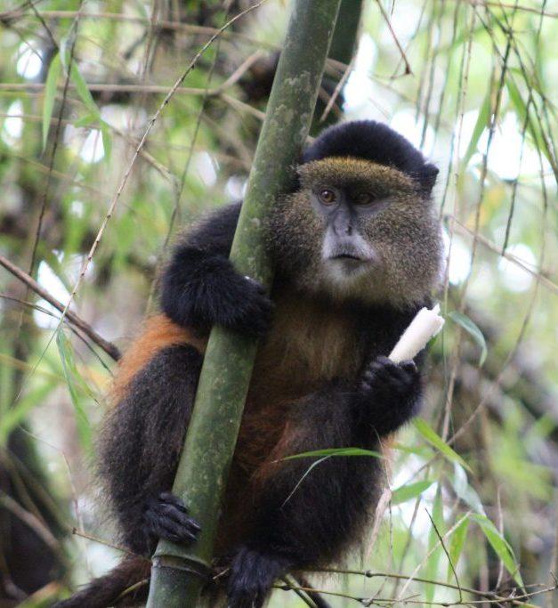 golden-monkey-uganda